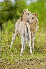 Gallery print  Konik, wild horse, two foals playing