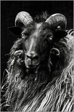 Gallery print  Heidschnucken Sheep - Martina Cross