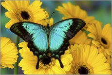 Gallery print  Sea green swallowtail - Darrell Gulin