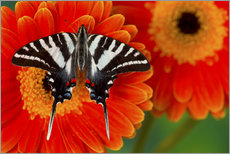 Gallery print  Knight butterfly on gerbera - Darrell Gulin