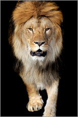 Acrylglas print  Portrait of a lion
