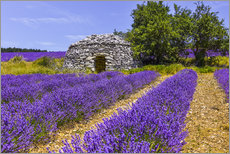Acrylglas print  Stone hut in the lavender field - Jürgen Feuerer
