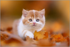 Premium poster  British long-haired cat in the foliage - Janina Bürger