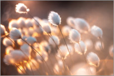 Acrylglas print  Cottongrass in the evening light - Julia Delgado