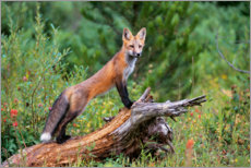 Acrylglas print  Fox steals from a tree trunk