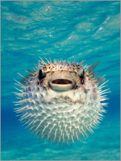 Acrylglas print  Inflated puffer fish