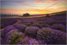 Acrylglas print  Lavender field in the morning - Rafal Kaniszewski