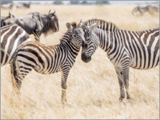 Acrylglas print  Adults and young zebras - Jaynes Gallery