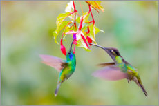 Canvas print  Two hummingbirds on a flower - Jaynes Gallery
