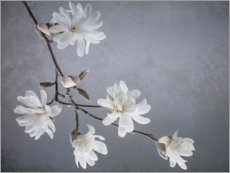 Canvas print  White magnolia blossoms - Jaynes Gallery