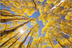 Muursticker  Autumn-colored aspen forests of Colorado - The Wandering Soul