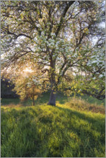 Aluminium print  Blossoming pear tree in the sunset light - The Wandering Soul
