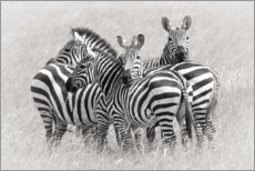 Acrylglas print  Group of zebras - Kirill Trubitsyn