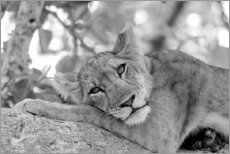 Premium poster Lioness resting on branch