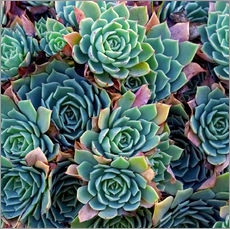 Muursticker  Colorful succulents - David Wall