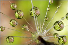 Gallery print  Drops of water on dandelion - Christopher Talbot Frank