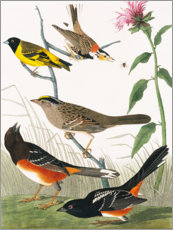 Gallery print  Various birds - John James Audubon