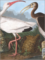 Gallery print  Heron - John James Audubon
