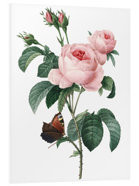 PVC print  Rose of a Hundred Petals - Pierre Joseph Redouté