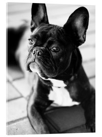 Acrylglas print  French Bulldog - Falko Follert