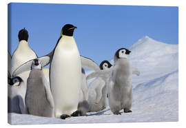 Canvas print  Emperor penguins with chicks - Keren Su