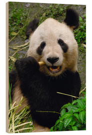 Hout print  Panda is chewing on bamboo - Pete Oxford