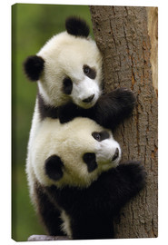 Canvas print  Giant panda babies on tree trunk - Pete Oxford