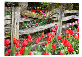 Acrylglas print  Tulips in front of a wooden fence - Jamie & Judy Wild