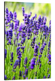 Aluminium print  Lavender on a meadow - Rob Tilley