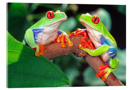 Acrylglas print  Two red-eyed tree frogs - David Northcott