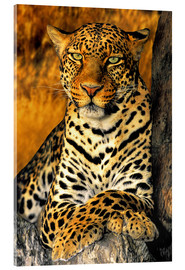 Acrylglas print  Enthroned Leopard - Dave Welling