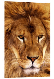 Acrylglas print  Portrait of an African lion - Dave Welling