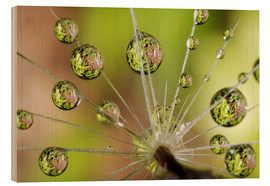 Hout print  Drops of water on dandelion - Christopher Talbot Frank