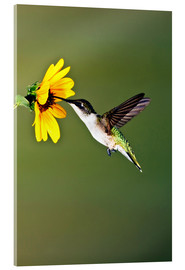 Acrylglas print  Ruby-throated Hummingbird at sunflower - Larry Ditto