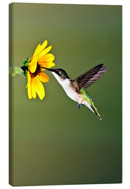Canvas print  Ruby-throated Hummingbird at sunflower - Larry Ditto