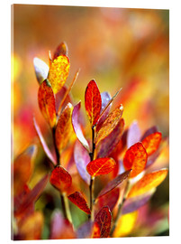 Acrylglas print  Red bilberry leaves - Ric Ergenbright