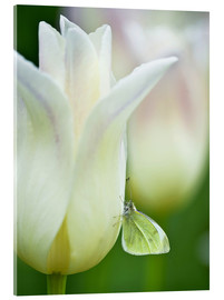 Acrylglas print  Butterfly on a white tulip - Nancy Rotenberg