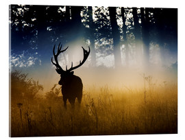 Acrylglas print  Red deer in the subtle light - Alex Saberi