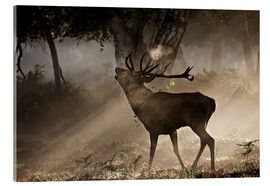 Acrylglas print  Roaring deer in the morning - Alex Saberi