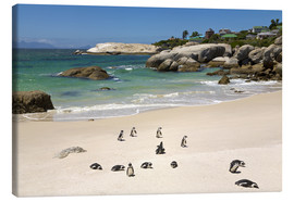 Canvas print  Penguins on Boulders Beach - Paul Thompson