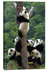 Canvas print  Panda babies on the climbing tree - Pete Oxford