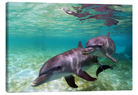 Canvas print  Two bottlenose dolphins of the Caribbean - Stuart Westmorland