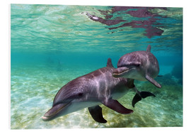 PVC print  Two bottlenose dolphins of the Caribbean - Stuart Westmorland
