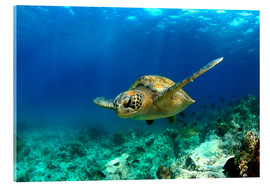 Acrylglas print  Green sea turtle under water - Paul Kennedy