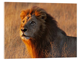 Acrylglas print  Lion in the evening light - Africa wildlife - wiw