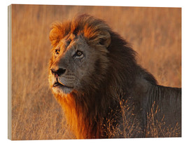 Hout print  Lion in the evening light - Africa wildlife - wiw