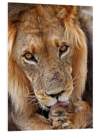 PVC print  View of the lion - Africa wildlife - wiw