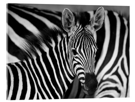 Acrylglas print  Zebra black and white - HADYPHOTO