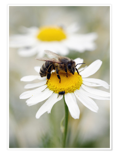Premium poster Bee on the camomile lawn
