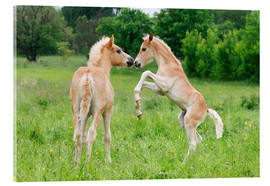 Acrylglas print  Haflinger foals playing and rearing - Katho Menden